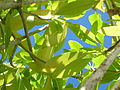 Starr 061108-9616 Rauvolfia sandwicensis.jpg