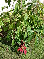 Starr 061223-2744 Euphorbia pulcherrima.jpg