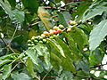 Starr 070308-5472 Coffea arabica.jpg