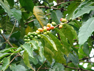 Coffea arabica - Coffea arabica fruit