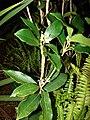 Starr 070404-6726 Osmanthus fragrans.jpg