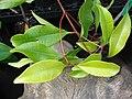 Starr 070906-8562 Syzygium aromaticum.jpg