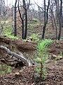 Starr 070908-9137 Pinus radiata.jpg