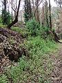 Starr 070908-9282 Eucalyptus globulus.jpg