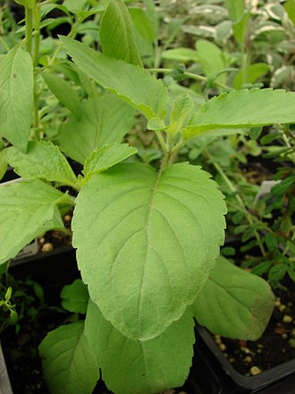 Ocimum tenuiflorum - Close-up of tulsi leaves