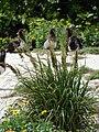 Starr 080609-7950 Eragrostis variabilis.jpg
