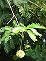 Starr 080716-9409 Unknown fabaceae.jpg