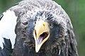 Steller´s sea-eagle.jpg