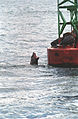Steller Sea Lion08(js).jpg