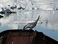Sterna vittata - Antarctica II.jpg