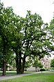 Stieleiche - Goebelstraße 70.jpg
