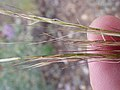 Stipa lettermanii (9374058460).jpg