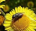 Stomorhina lunata, Locust Blowfly. Calliphoidae (36791402266).jpg