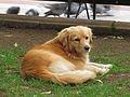 Stray dog (11164518216).jpg