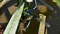 Stream Bluet (Enallagma exsulans) - London, Ontario 2015-07-09 (02).jpg