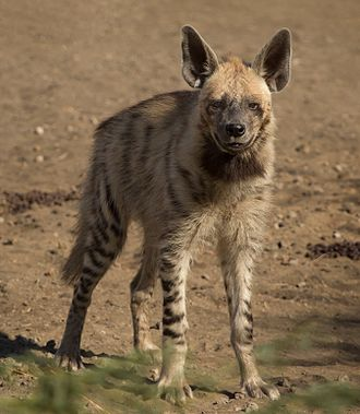A wild individual at Blackbuck National Park, Velavadar Striped Hyena Adult.jpg