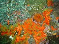 Striped anemones and red chested cucumbers at Castor Rock DSC00878.JPG