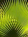 Sun playing in palmtree.JPG