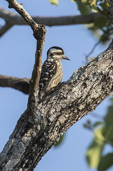 File:Sunda Woodpecker - Baluran NP - East Java MG 8562 (29809213665).jpg