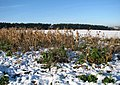 Sunflowers in the snow - geograph.org.uk - 1630579.jpg