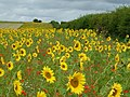 Sunflowers on Row Down - geograph.org.uk - 158347.jpg