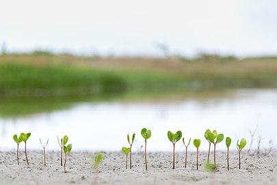 Superagui - Formação de vegetação de mangue.jpg