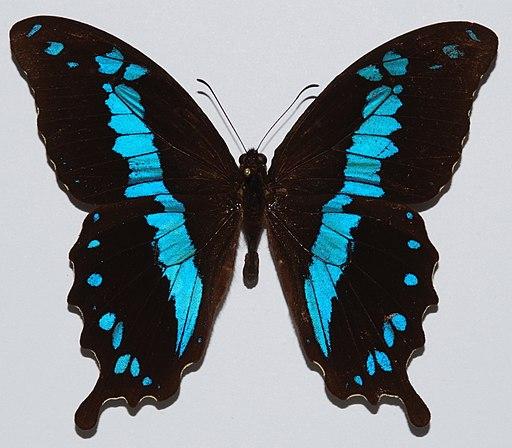 Swallowtail Butterfly (Papilio oribazus) (8539896308)