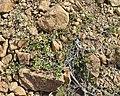 Swamp Birch (Betula pumila) - Gros Morne National Park, Newfoundland 2019-08-17 (01).jpg