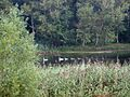 Swans in the Röthe (flood area of the Elbe), east of Schönebeck, Sachsen-Anhalt, Germany - panoramio.jpg