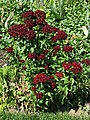 Sweet William Dianthus barbatus 'Heart Attack' Plant 2112px.jpg
