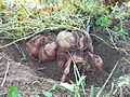 Sweet potatoes exposed - DSCF7303.JPG