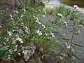 Symphyotrichum dumosum.jpg