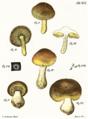 Tab41-Agaricus aureus Schaeff.png