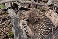 Tachyglossus aculeatus (Short-beaked Echidna), Moora Track, Grampians National Park, Victoria Australia (5043625983).jpg