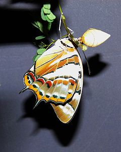 Tailed emperor butterfly.jpg