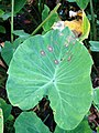Taro (Colocasia esculenta)- Phytophthora leaf blight (15014949497).jpg