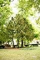 Taxus-baccata 12-18-B WLE2020 Denis-Apel 8.jpg