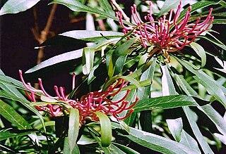 <i>Telopea mongaensis</i> species of plant