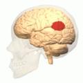 Temporoparietal junction.png