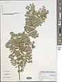 Tephrosia mossiensis-NMNH-13369429.jpg