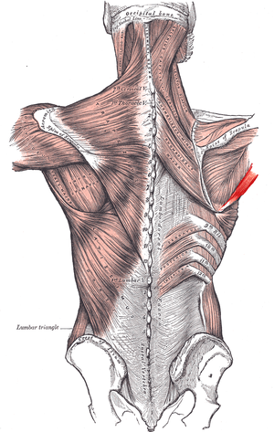 Teres major muscle - Posterior view showing the relations between teres major muscle (in red) and the other muscles connecting the upper extremity to the vertebral column.