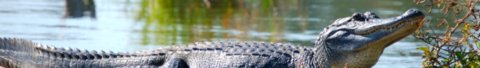 Terrebonne Parish banner alligator in Lake Martin.png
