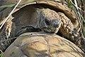 Testudo hermanni - šumska kornjača Srbija (6).jpg