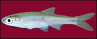 Texas shiner species of fish