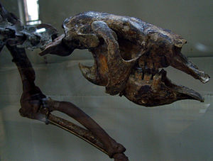 Thalassocnus - Closeup of Thalassocnus skull, Muséum national d'histoire naturelle, Paris