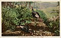 The American Museum of Natural History, 7, wild turkeys in the Mountains of West Virginia (NBY 24088).jpg