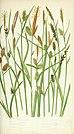 The British grasses and sedges (1858) (14577536437).jpg