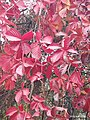 The Growth of Chinese Maple-red Leaves in Deep Autumn Impression (2).jpg