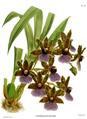 The Orchid Album-01-0086-0028-Zygopetalum gautieri.png