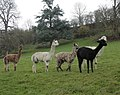The alpaca family near St. Catherine's Court - geograph.org.uk - 1608959.jpg